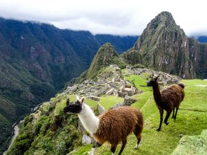 Lamas on Machu Picchu, your reward for backpacking all the way to Machu Picchu
