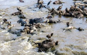 Dead wildebeests and vultures eating them