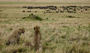 Wildlife in the Maasai Mara while backpacking in kenya