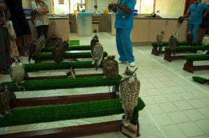 Spend one day in Abu Dhabi and visit Abu Dhabi Falcon Hospital