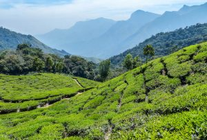 A highlight of backpacking india are the tea plantations of munnar
