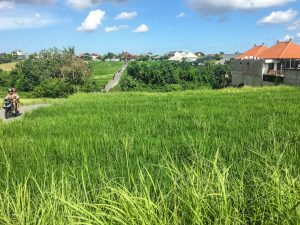 Path through the rice paddies of Canggu Bali