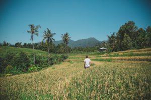 Blick auf grüne Reisfelder auf Bali