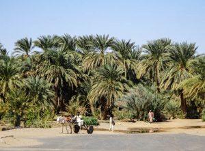 Palmenwald im Sudan