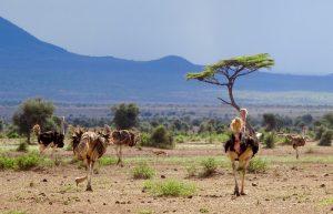 Vogelstrauße im Amboseli Kenia