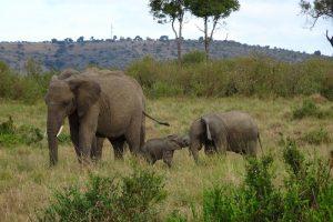 Elefanten im Masai Mara Park bei der Safari in Kenia
