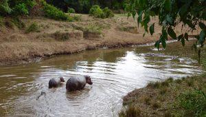 Nilpferde im Kenia Urlaub