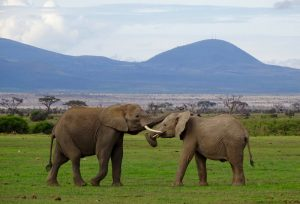 Kämpfende Empfangen im Amboseli Safari Park in Kenia