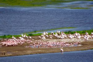 Flamingos im Amboseli