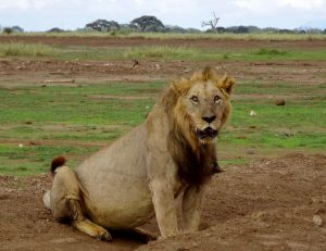 Löwe bei meiner Kenia Safari