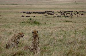 Geparden auf Jagd im Masai Mara Safari Park in Kenia