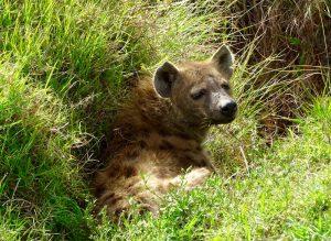 Eine wilde Hyäne