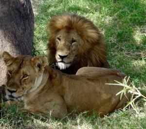 Löwen auf Kenia Safari