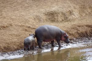 Nilpferde am Fluss bei der Safari