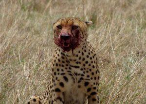 Blutverschmierter Gepard im Masai Mara Safari-Park in Kenia