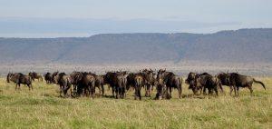 Gnus bei der Kenia Safari