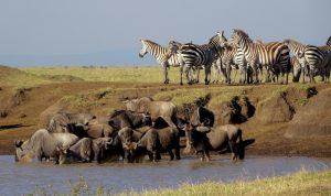 Auf Safari in Kenia - Zebras und Gnus