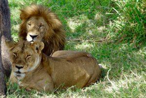 Löwen im Nationalpark