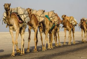 Camels carrying salt rocks