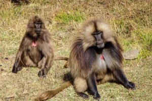 Monkeys in Ethiopia