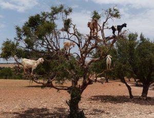 Ziegen auf dem Baum in Marokko