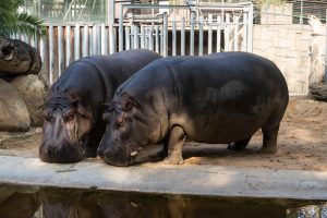 Hippos in the zoo