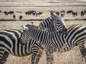 Safari in Tanzania - Zebras