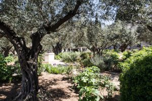 Olivenbäume im Getsemani Garten am Ölberg