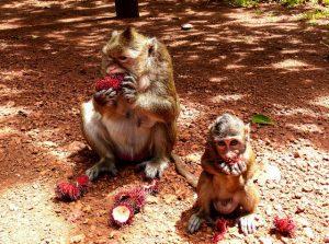 Affen in Kambodscha