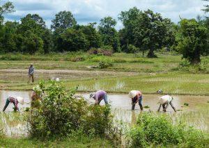 Reisfelder in Laos