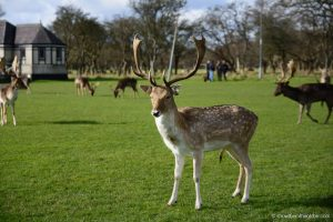 Deer in Phoenix Park when backpacking Dublin