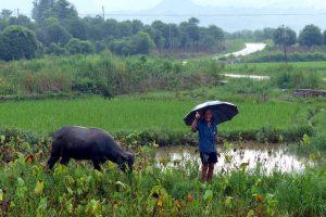Grüne Landschaft in China mit Kuh und Mann