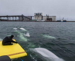 Umringt von Belugas im Wasser in Churchill Kanada