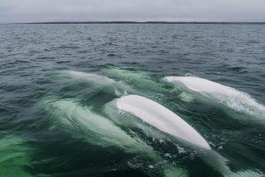 Beluga Wale im Wasser