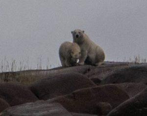 Zwei Eisbären in Churchill Kanada