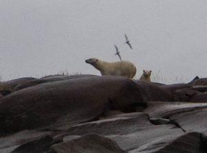 Eisbären auf Steinen
