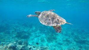 Schildkröte schwimmt im Wasser