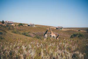 Giraffen in der Natur