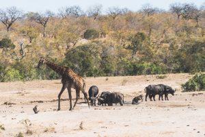 Giraffen und Tiere auf Safari im Nationalpark
