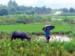 Einheimischer mit Kuh in Reisfeld in China