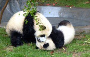 Zwei spielende Pandas