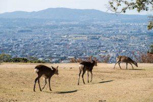 Hirsche auf Aussichtspunkt in Nara