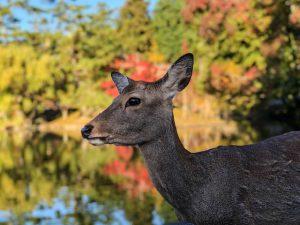 Hirsch vor Teich und Bäumen im Park von Nara Japan