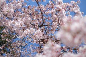 Rote Kirschblüten Zweige