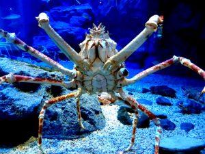 Krabbe im Aquarium als Sehenswürdigkeit Osakas