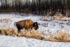 Büffel im Elk Island Nationalpark Alberta