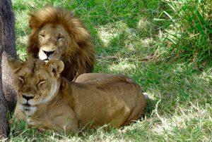 Zwei Löwen im Gras
