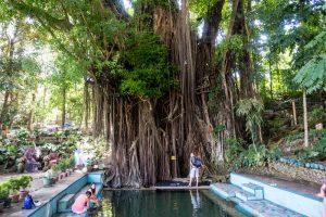 Alter großer Baum auf Siquijor