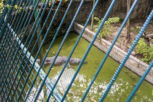 Gitterstäbe vor Krokodil