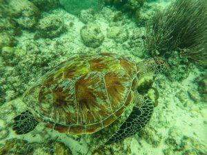 Schildkröte beim Schnorcheln